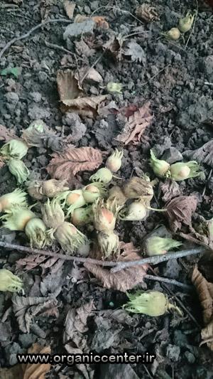 Gilan-Hazelnuts Garden-www.organiccenter.ir 4