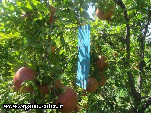 باغات انار ارگانیک