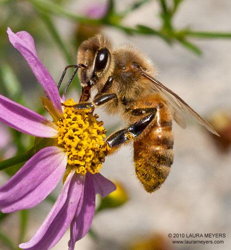 زنبورهای تریكوگراما