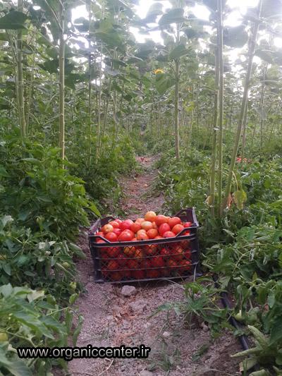 www.organiccenter.ir Gokarn farm 1
