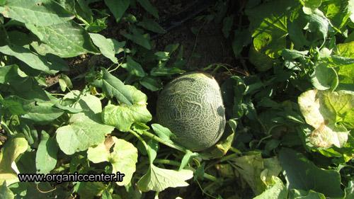 www.organiccenter.ir Gokarn farm 14