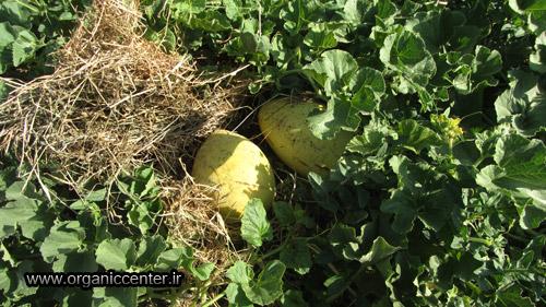 www.organiccenter.ir Gokarn farm 18 copy