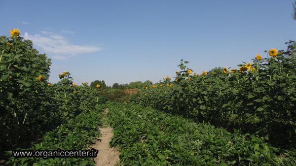 www.organiccenter.ir sun flower 16