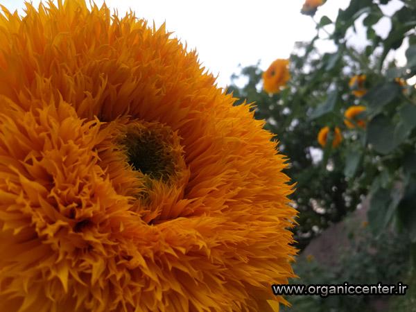 www.organiccenter.ir sun flower 2