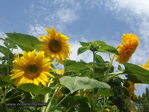 www.organiccenter.ir sun flower 7